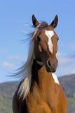 Lösa Pinto Horse royaltyfria foton