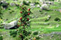 Lösa Plum Bush i Garhwal Himalayas Arkivfoto