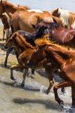 Lösa ponnyer av den Chincoteague ön Royaltyfria Bilder