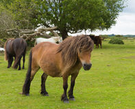Lösa ponnyer nya Forest Hampshire England UK Arkivfoto