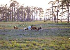 Lösa ponnyer på solnedgången fotografering för bildbyråer