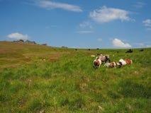 Lösa ponnyer som förbiser den stora sammanlänkningstoren, Dartmoor Fotografering för Bildbyråer