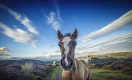 Lösa Pony Foal Portrait Close Up arkivfoton