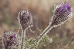 Lösa purpurfärgade pasqueblommor på berget Royaltyfri Foto