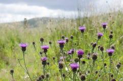 Lösa purpurfärgade skotska tistlar mot långt grönt gräs Royaltyfri Bild