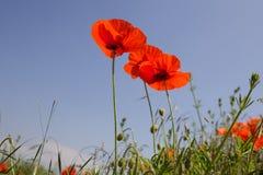 Lösa röda vallmo i ett fält med en blå himmel royaltyfri foto