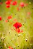 Lösa röda vallmo i mitt av gröna fält Royaltyfria Bilder