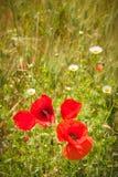 Lösa röda vallmo i mitt av gröna fält Fotografering för Bildbyråer