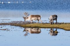 Lösa renar vid sjön - arktisk, Svalbard Royaltyfri Bild