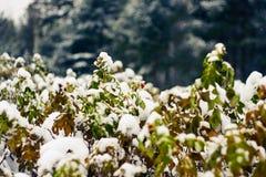 Lösa rosa buskar som täckas med insnöat en skog i tidig vinter arkivbilder