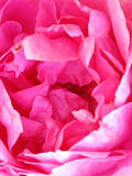 Lösa rosa färger väcker Arkivfoto