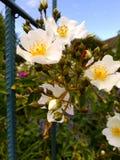 Lösa rosor eller hundrosor Royaltyfri Fotografi