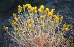 Lösa Sage Yellow blommar toppiga bergskedjan Nevada Mountains Royaltyfri Fotografi