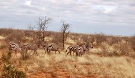 Lösa sebror på safari Arkivbilder