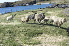 Lösa Sheeps, Grönland Royaltyfri Foto