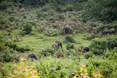 Lösa skogelefanter på Mt Kenya Arkivfoto