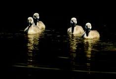 Lösa små svanar på yttersidan fotografering för bildbyråer