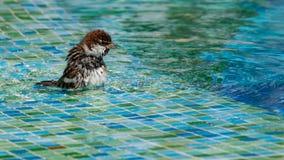 Lösa sparvar som badar i grunt simbassängvatten royaltyfri bild