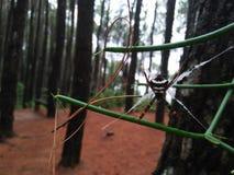 Lösa spindlar i en pinjeskog royaltyfria bilder