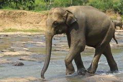 Lösa stora elefanter kommer i vatten Royaltyfri Fotografi