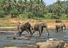 Lösa stora elefanter som spelar i vatten Arkivfoto