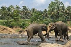 Lösa stora elefanter som spelar i vatten Royaltyfri Fotografi