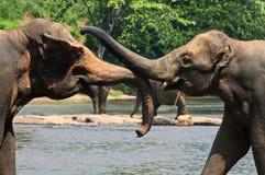 Lösa stora elefanter som spelar i vatten Royaltyfria Foton