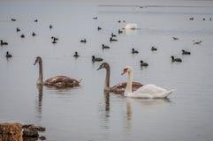 Lösa svanar och änder på dammet royaltyfri bild