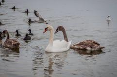 Lösa svanar och änder på dammet royaltyfria bilder