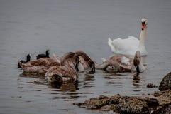 Lösa svanar och änder på dammet fotografering för bildbyråer