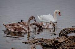 Lösa svanar och änder på dammet royaltyfri fotografi