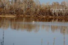 Lösa svanar på floden fotografering för bildbyråer
