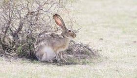 Lösa Svart-tailed Jackrabbit (Lepuscalifornicusen) Fotografering för Bildbyråer