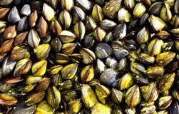 Lösa svarta musslor på kust- vaggar Arkivbilder