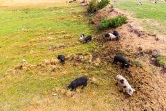 Lösa svin betar att äta gräset på naturen Arkivfoto
