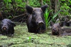 Lösa svin i ett träsk Arkivfoto