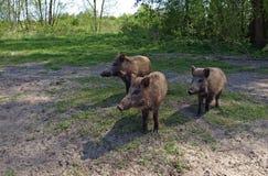 Lösa svin på kanten av en skog Royaltyfri Foto