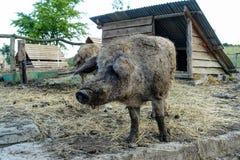 Lösa svin på lantgården Royaltyfri Foto