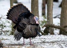 Lösa Tom Turkey som svassar i tidig vår under para ihop säsong arkivfoto