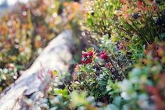 Lösa tranbär som växer i natur Royaltyfria Bilder