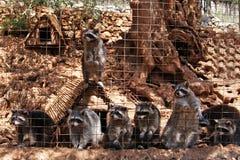 Lösa tvättbjörnar i zoo på den Zakynthos ön royaltyfri bild