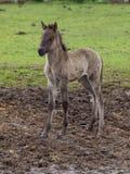 Lösa tyska hästar Arkivfoton