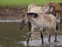Lösa tyska hästar Arkivbild