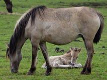 Lösa tyska hästar Arkivbilder