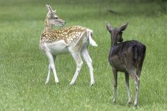 Lösa unga hjortar - London, Förenade kungariket royaltyfri bild