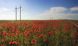 Lösa vallmo för blom Arkivfoto