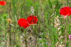 Lösa vallmo som blommar i fältet just rained Fotografering för Bildbyråer