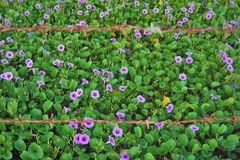 Lösa violets bak taggtrådar royaltyfria bilder
