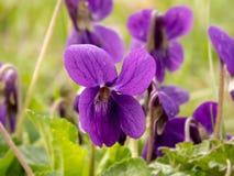 Lösa violets på en solig dag royaltyfri fotografi