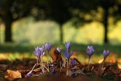 Lösa violetta krokusar i skogen royaltyfri foto